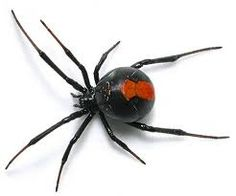 Button or Black Widow Spider