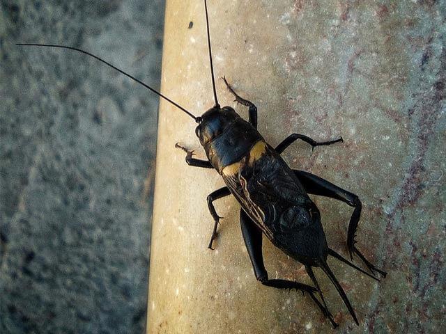 Crickets Boland