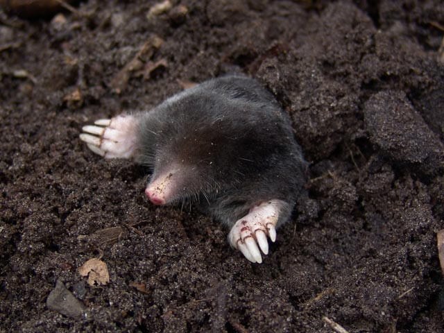 Moles Pretoria