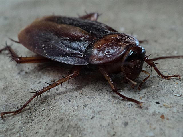 Cockroaches Johannesburg