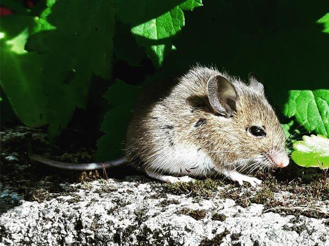 Rats Boland