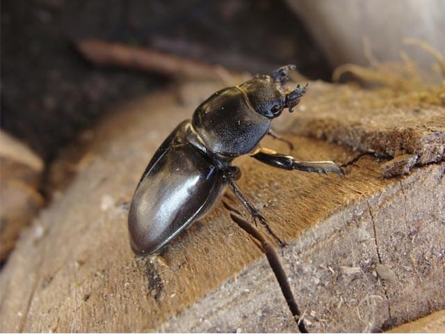 Wood Beetles Johannesburg