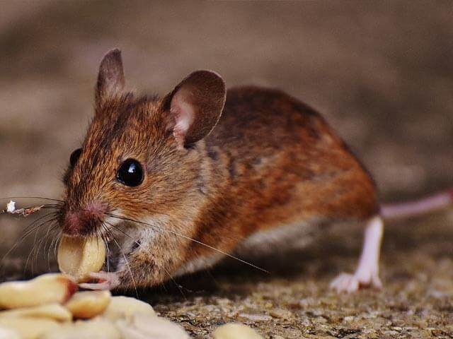 Rats Pretoria