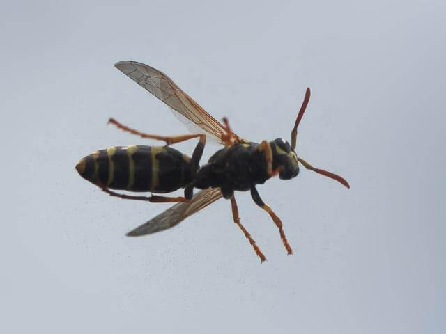 Wasps Pretoria