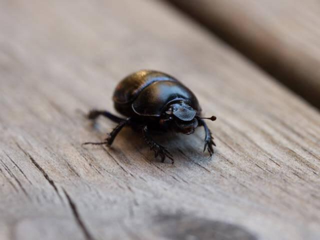 Wood Beetles Cape Town