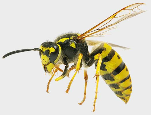 Yellow Jacket or German Wasps