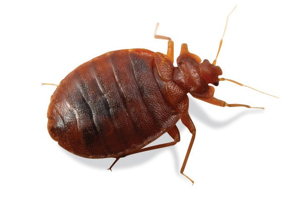 Bed Bugs Boland