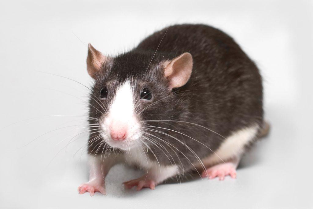 Rats Johannesburg