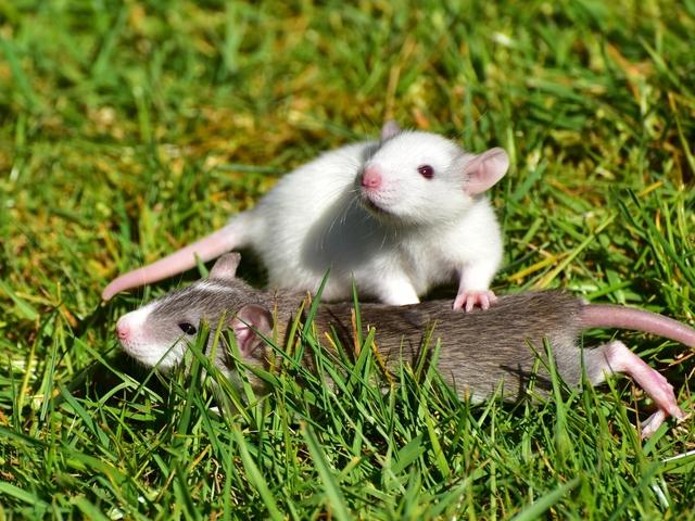 Rats Durban